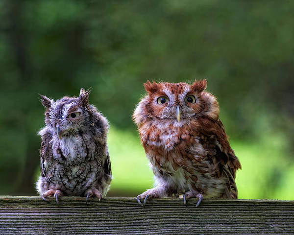 Animal Poster featuring the photograph Two Screech Owls by David Kay