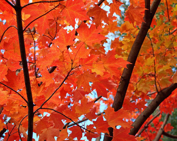 Maple Poster featuring the photograph Under The Orange Maple Tree by Rona Black