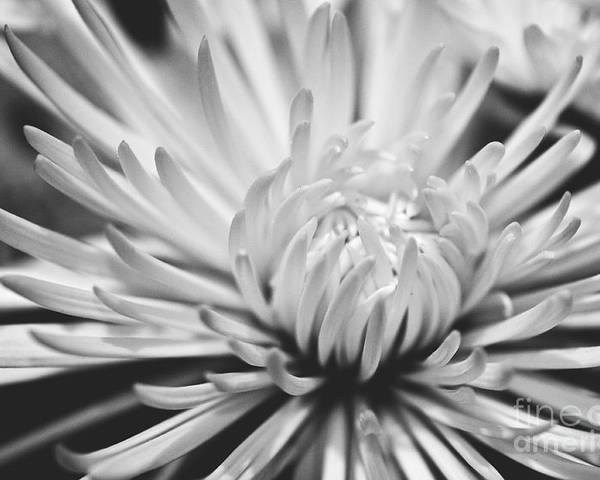 Flower Picture Poster featuring the photograph Unfolding by Artist and Photographer Laura Wrede
