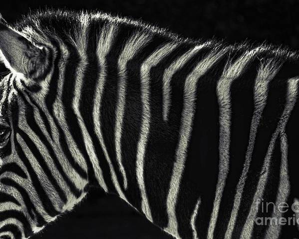 Zebra Poster featuring the photograph Unique Similarity by Andrew Paranavitana