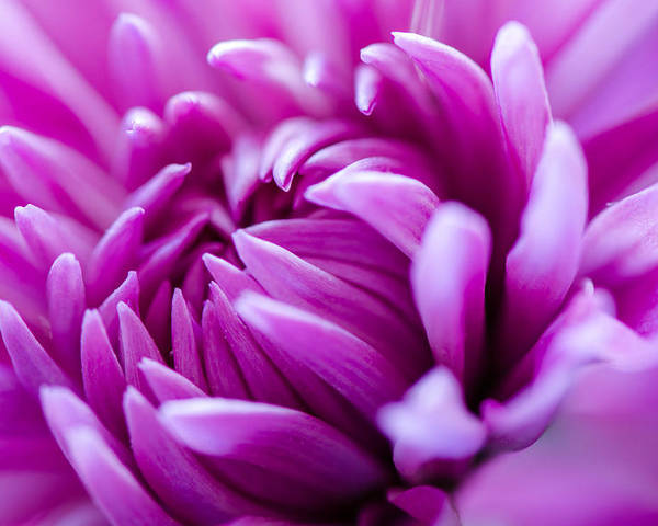 Pink Poster featuring the photograph Up-close Flower Power Pink Mum by Michael Moriarty