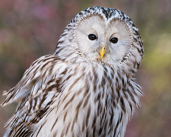 Charleston Center For Birds Of Prey Poster featuring the photograph Ural Owl by Chris Smith