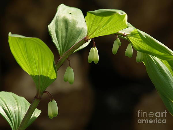 Solomon's Seal Poster featuring the photograph Variegated Solomon's Seal In Spring - Pennsylvania by Anna Lisa Yoder