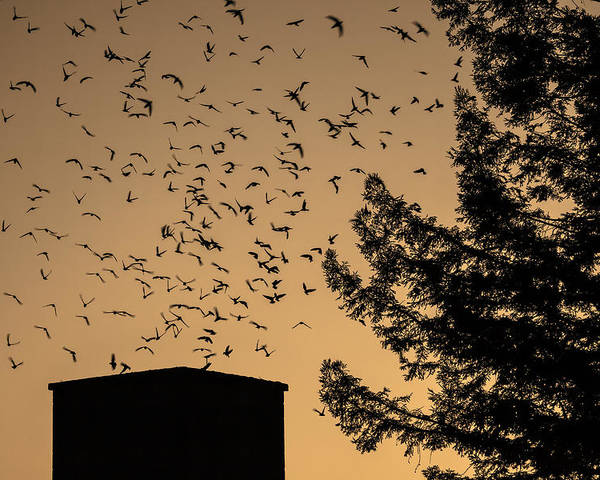 Vaux's Swifts In Migration Poster featuring the photograph Vaux's Swifts In Migration by Garry Gay