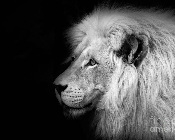 Vegas Lion - Black And White Poster featuring the photograph Vegas Lion - Black And White by Ian Monk