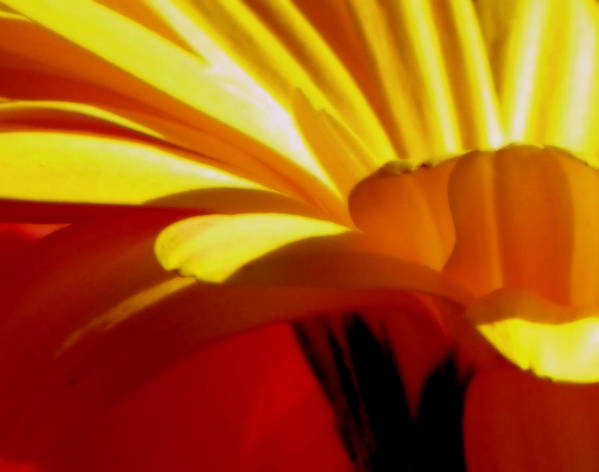 Flower Poster featuring the photograph Vibrance by Karen Wiles