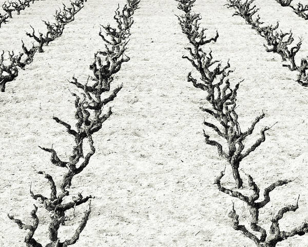 Vines Poster featuring the photograph Vines by Frank Tschakert