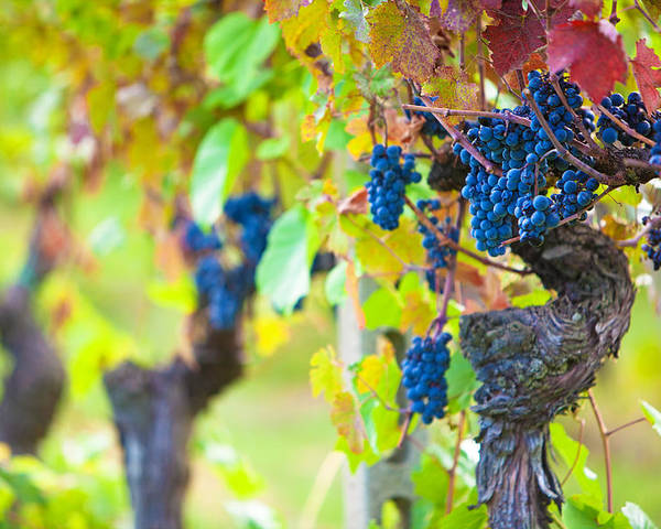 Vines Poster featuring the photograph Vineyard Grapes Ready For Harvest by Susan Schmitz