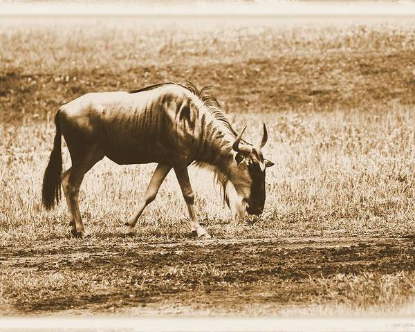 Vintage African Safari Wildebeest Poster featuring the photograph Vintage African Safari Wildbeest by Dan Sproul