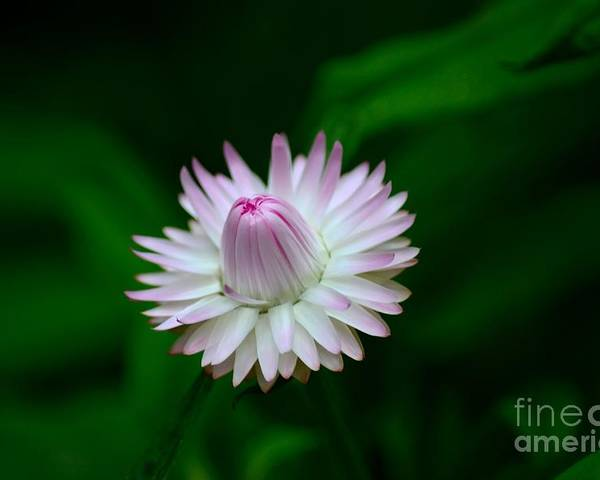 Bloom Poster featuring the photograph Violet And White Flower Sepals And Bud by Imran Ahmed