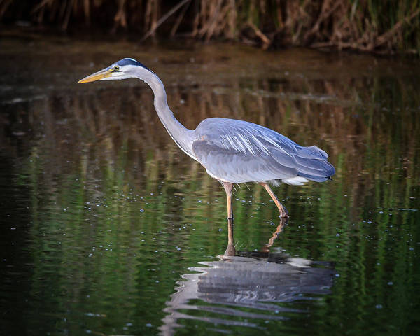 Blue Poster featuring the photograph Wading Blue Heron by Puget Exposure