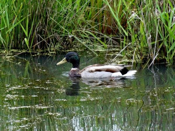 Ridgefield National Wildlife Refuge Poster featuring the photograph Wading Mallard Duck by Lizbeth Bostrom