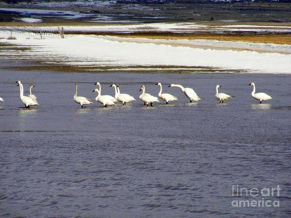 Winter Poster featuring the photograph Wading Swans 2 by Woody Wilson
