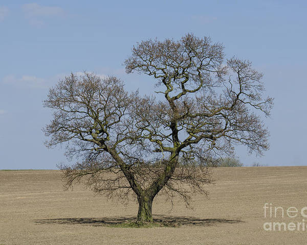 Oak Poster featuring the photograph Waiting For Spring - Colour by Steev Stamford