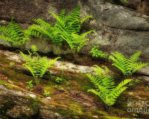 Nature Poster featuring the photograph Ferns by Alana Ranney