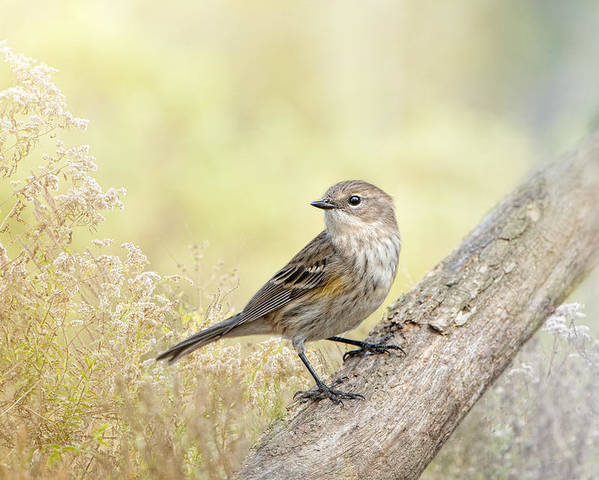 Yellow-rumped Warbler Poster featuring the photograph Warbler In Morning Light by Bonnie Barry