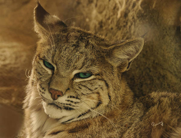 Penny Lisowski Poster featuring the photograph Wary Bobcat by Penny Lisowski