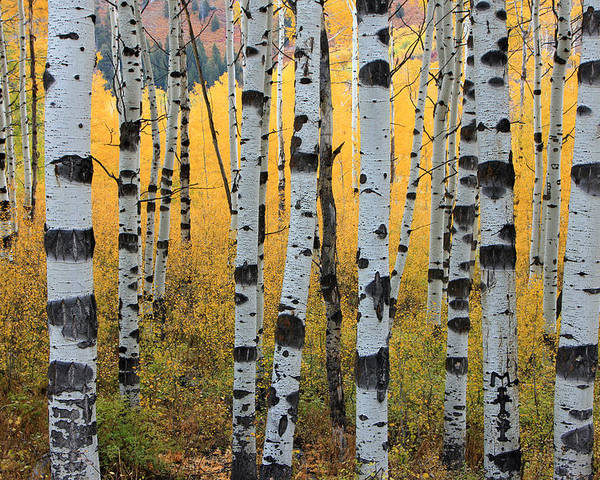 Aspens Poster featuring the photograph Wasatch Aspens by Johnny Adolphson
