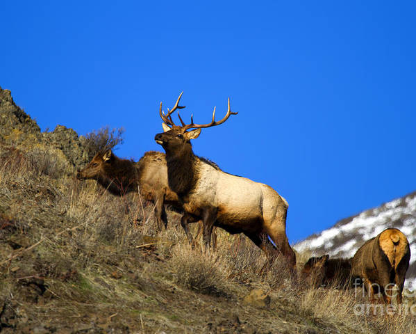 Elk Poster featuring the photograph Watchful Bull by Mike Dawson