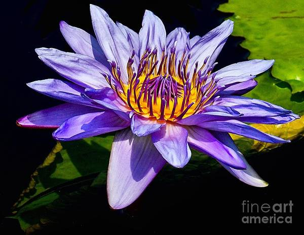 Aquatic Poster featuring the photograph Water Flower by Nick Zelinsky