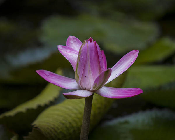 Water Lilly Poster featuring the photograph Water Lillies8 by Charles Warren