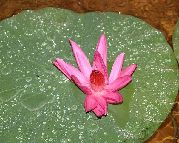 Water Lilly Poster featuring the photograph Water Lilly by Dervent Wiltshire