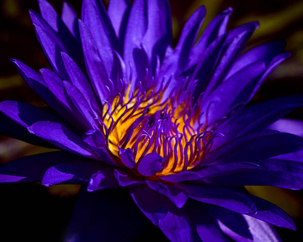 Aquatic Flower Poster featuring the photograph Water Lily 7 by Julie Palencia