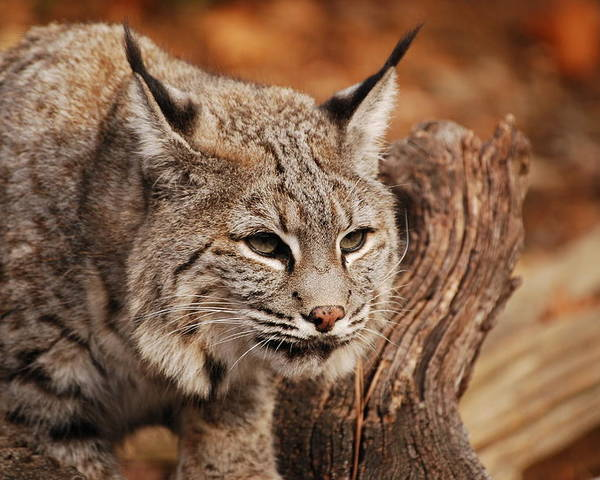 Bobcat Poster featuring the photograph What A Face by Lori Tambakis