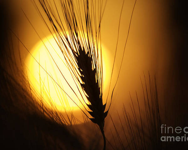 Sunset Poster featuring the photograph Wheat At Sunset by Tim Gainey