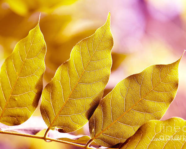 Gold Leaves Poster featuring the photograph When The Leaves Turn Gold by Artist and Photographer Laura Wrede