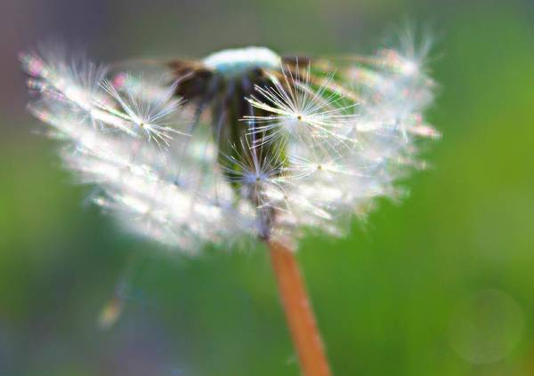 Dandelion Poster featuring the photograph Whimsy Dandelion by Candice Trimble