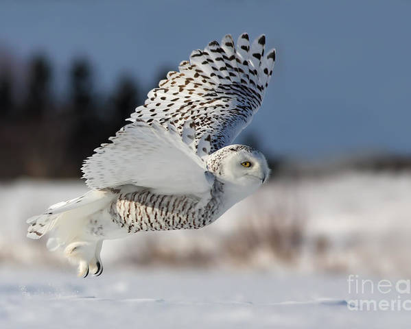 Art Poster featuring the photograph White Angel - Snowy Owl In Flight by Mircea Costina Photography