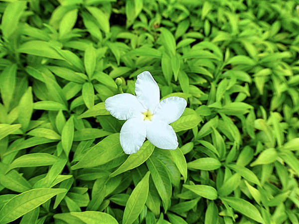 White Poster featuring the photograph White Flower On Green by Girish J
