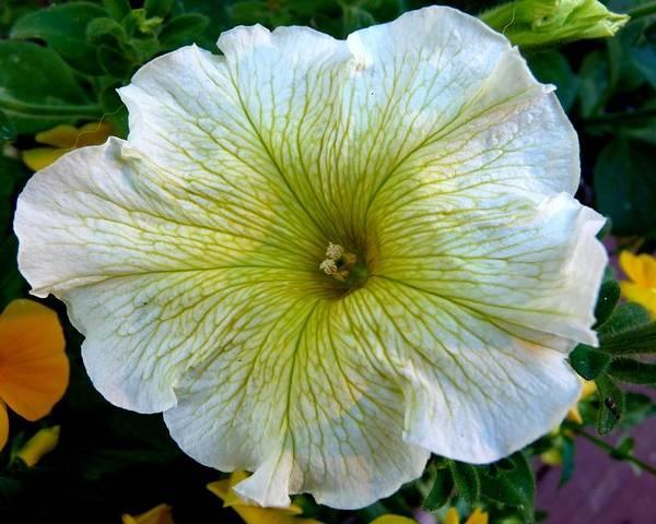 Colorado Poster featuring the photograph White Garden Petunia by Marilyn Burton