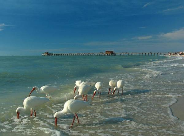 Florida Poster featuring the photograph White Ibis Near Historic Naples Pier by Juergen Roth