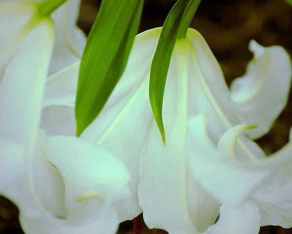 White Lily Bows Poster featuring the photograph White Lily Bows by Beth Akerman