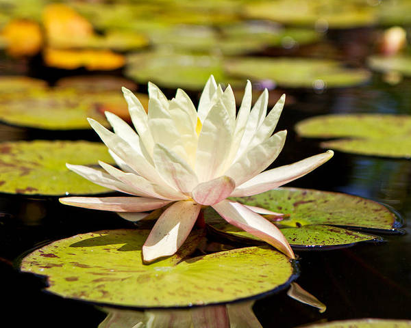 White lotus flower in lily pond poster by susan schmitz flower poster featuring the photograph white lotus flower in lily pond by susan schmitz mightylinksfo