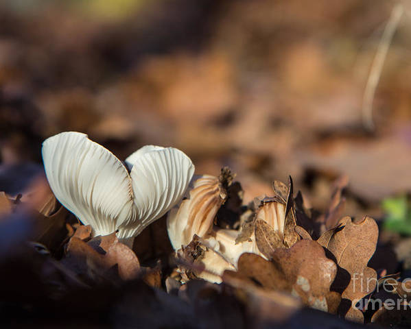 Autumn Poster featuring the photograph White Mushroom Long Gills by Jivko Nakev