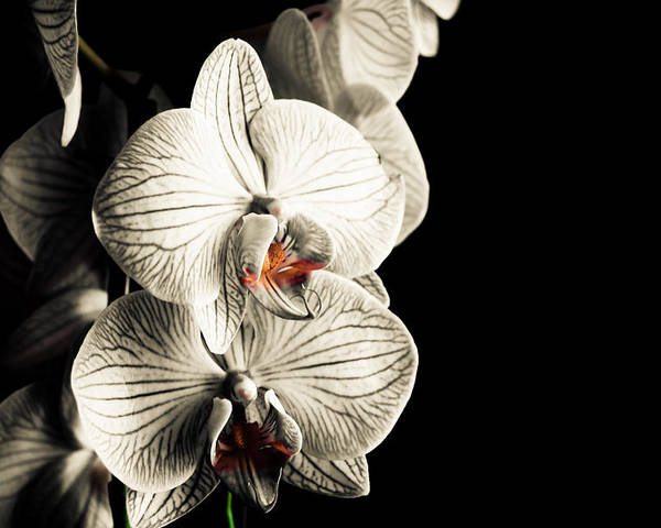 Orchid Poster featuring the photograph White Orchid by Adam Klimovic