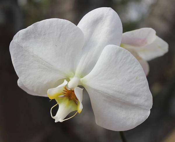 White Poster featuring the photograph White Orchid by Elisabeth Witte