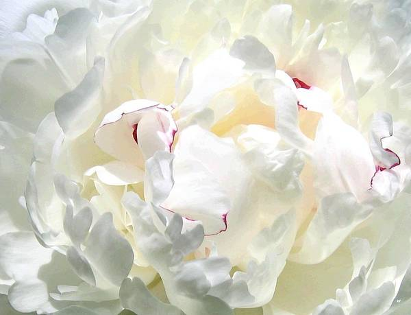 White Peony Poster featuring the photograph White Peony by Will Borden
