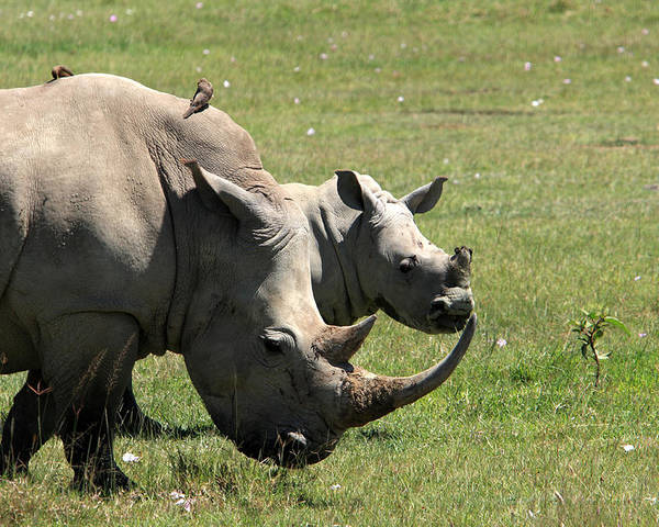 Rhinoceros Poster featuring the photograph White Rhino Mother And Calf by Aidan Moran