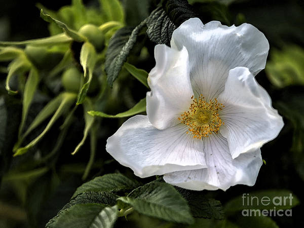 Rose Poster featuring the photograph White Rose by Belinda Greb
