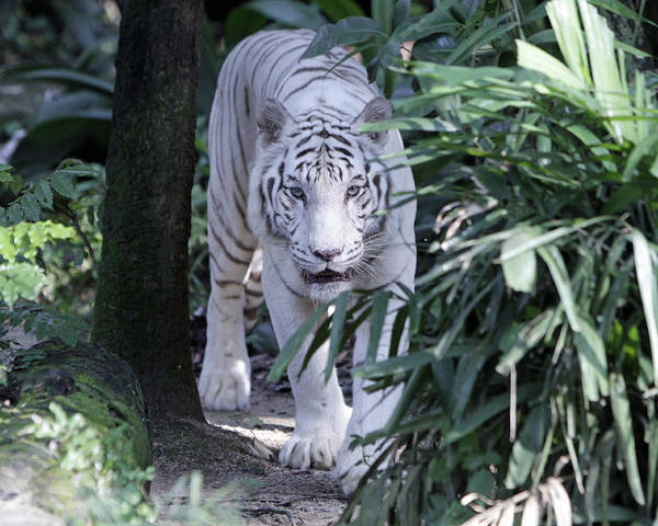 White Tiger Poster featuring the photograph White Tiger by Shoal Hollingsworth