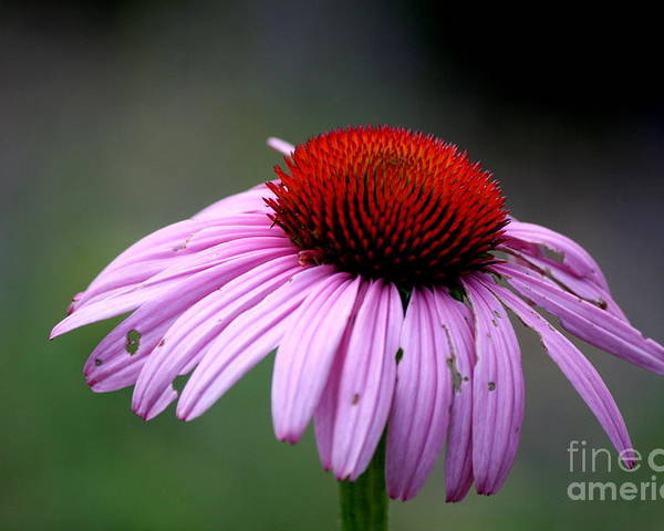 Flower Poster featuring the photograph Wickham Park Coneflower by Neal Eslinger