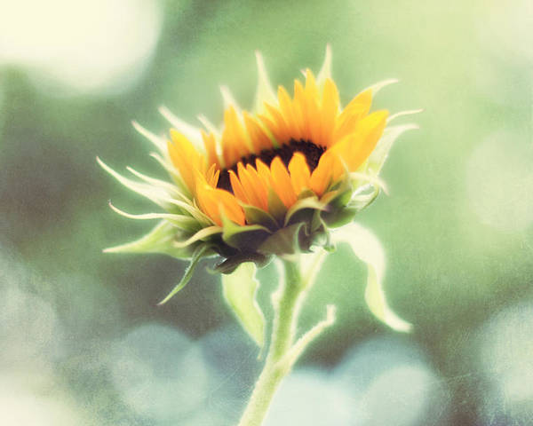 Sunflower Poster featuring the photograph Wild And Free by Amy Tyler