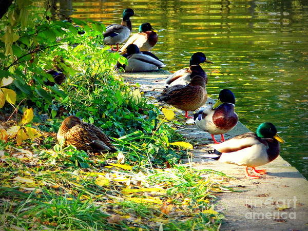 Duck Poster featuring the photograph Wild Ducks by Bufnila Alin