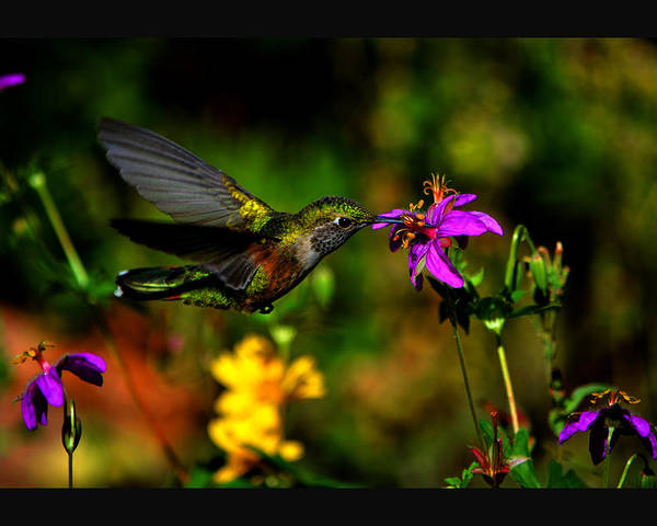 Hummingbird Drinking From Flower Poster featuring the photograph Wild Geranium Cafe II by Susanne Still