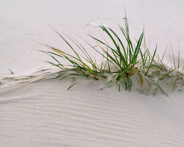 Grass Poster featuring the photograph Wild Grass With Deep Roots 8x10 by Michael Flood