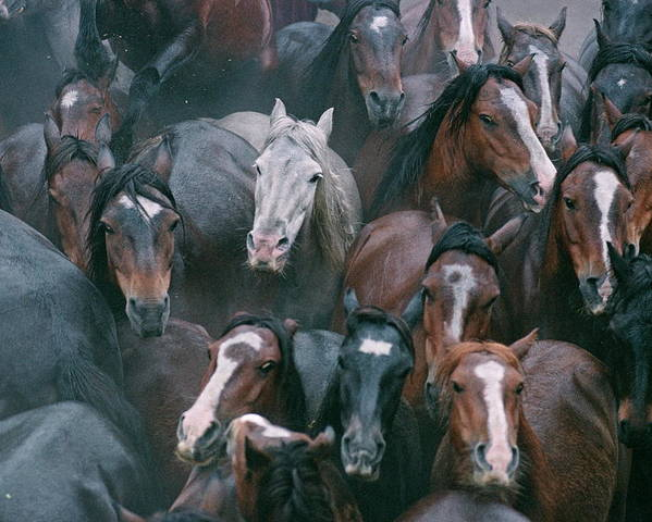 Equus Caballus Poster featuring the photograph Wild Horses In A Pen by Philippe Psaila/science Photo Library